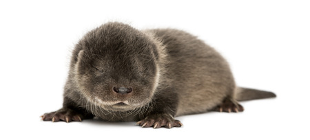 Otter pup lying down, eyes closed, 4 weeks old, isolated on white photo