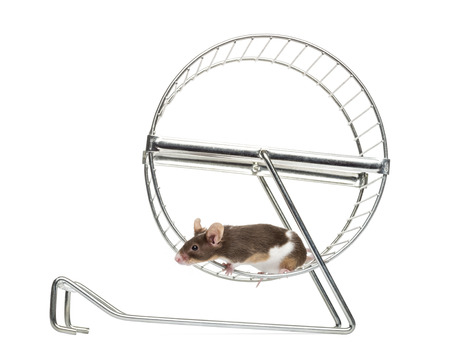 wheel house: Side view of a Common house mouse running in a wheel, Mus musculus, isolated on white Stock Photo