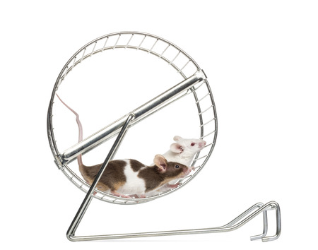 wheel house: Side view of Common house mice playing in a wheel, Mus musculus, isolated on white Stock Photo
