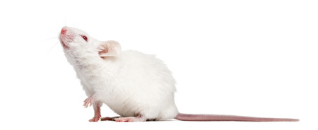 musculus: Side view of an albino white mouse looking up, Mus musculus, isolated on white Stock Photo
