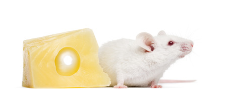 musculus: Albino white mouse next to a piece of cheese, Mus musculus, isolated on white