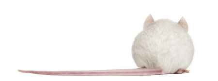 musculus: Rear view of an albino white mouse, Mus musculus, isolated on white Stock Photo