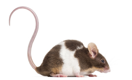 musculus: Side view of a Common house mouse, Mus musculus, isolated on white Stock Photo