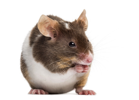 musculus: Common house mouse, Mus musculus, isolated on white