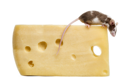 musculus: Common house mouse perched on top of a big piece of cheese, looking down, Mus musculus, isolated on white Stock Photo