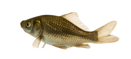 crucian carp: Crucian carp swimming, Carassius carassius, isolated on white
