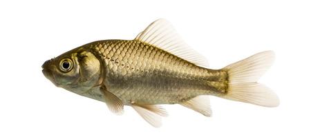 pez pecera: Natación carpín, Carassius carassius, aislado en blanco
