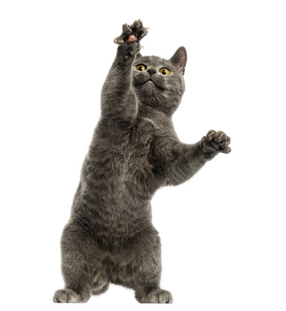grabing: Front view of a Chartreux kitten on hind legs, pawing up, 6 months old, isolated on white Stock Photo