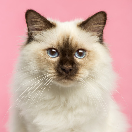 birman kitten: Close-up of a Birman kitten looking at the camera, 5 months old, on a pink  Stock Photo