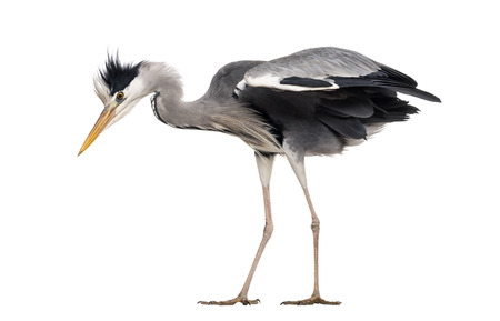 grey heron: Side view of a Grey Heron, standing, looking down, Ardea cinerea, isolated on white Stock Photo