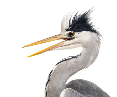 Close-up of a Grey Herons profile, beak opened, Ardea cinerea, isolated on white photo