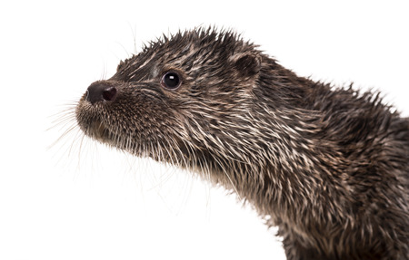 otter: Close-up of an European otter, Lutra lutra, isolated on white