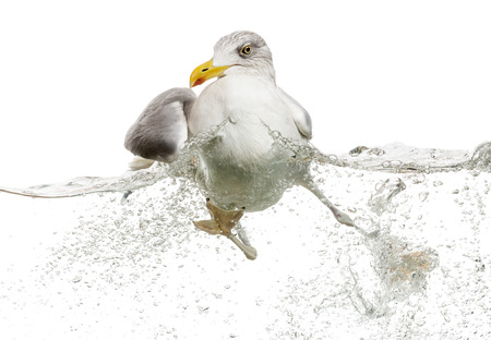 waters: European Herring Gull floating in troubled waters, Larus argentatus, isolated on white Stock Photo