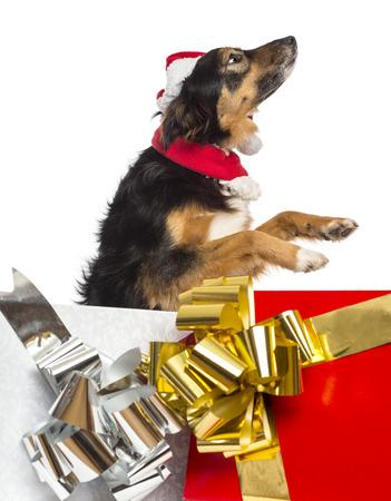 Side view of a Border collie going out of present boxes, isolated on white photo