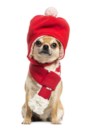 Chihuahua wearing christmas hat and scarf, sitting, isolated on white photo