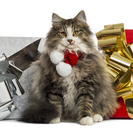 Norwegian Forest cat wearing a christmas scarf, with present boxes, isolated on white photo