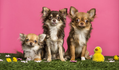 Group of Chihuahuas sitting in an easter scenery, looking at the camera, isolated on white photo