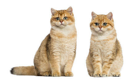 british shorthair: Two British shorthair sitting, isolated on white