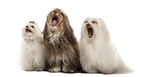 bichon: Group of Maltese dogs, yawning, sitting in a row, isolated on white