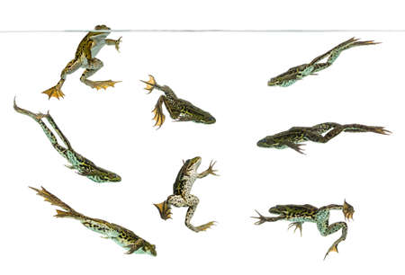 green frog: Composition of Edible Frogs swimming under water line, Pelophylax kl. esculentus, isolated on white