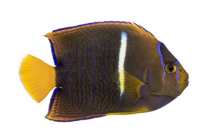 passer    by: Side view of a Passer Angelfish, Holacanthus passer, isolated on white Stock Photo