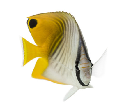 chaetodon: Threadfin Butterflyfish, Chaetodon auriga, isolated on white