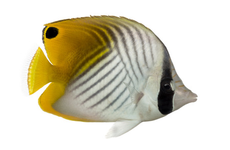 chaetodon: Side view of a Threadfin Butterflyfish, Chaetodon auriga, isolated on white