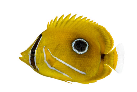 chaetodon: Side view of a Bluelashed butterflyfish, Chaetodon bennetti, isolated on white.