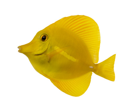 tang: Side view of a Yellow Tang, Zebrasoma flavescens, isolated on white Stock Photo