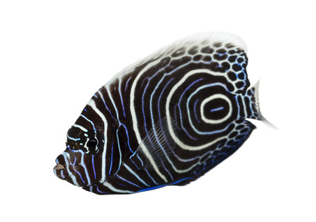pomacanthus imperator: Emperor Angelfish, Pomacanthus imperator, isolato su bianco Archivio Fotografico