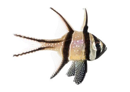 Side view of a Banggai Cardinalfish, Pterapogon kauderni, isolated on white photo