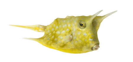 Longhorn cowfish, Lactoria cornuta, isolated on white photo