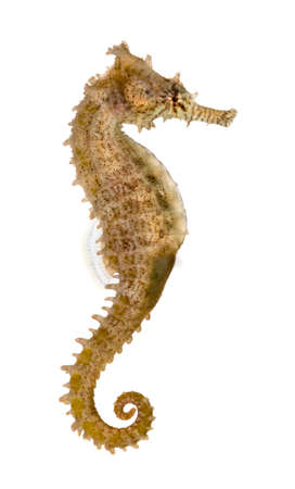 fish water: Side view of a Common Seahorse, Hippocampus kuda, isolated on white