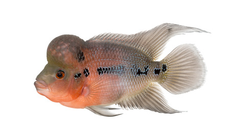 fresh water aquarium fish: Side view of a Living Legend, Flowerhorn cichlid, isolated on white Stock Photo