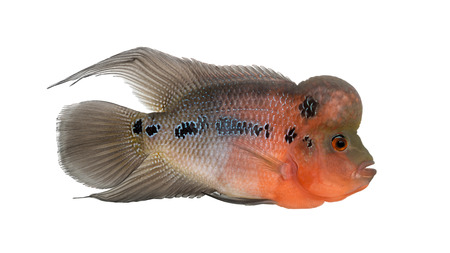 Side view of a Living Legend, Flowerhorn cichlid, isolated on white Stock Photo