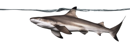 Side view of a Blacktip reef shark swimming at the surface of the water, Carcharhinus melanopterus, isolated on white photo
