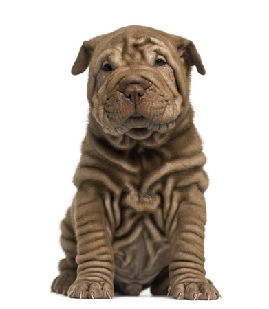 Shar Pei puppy sitting, looking at the camera, isolated on white