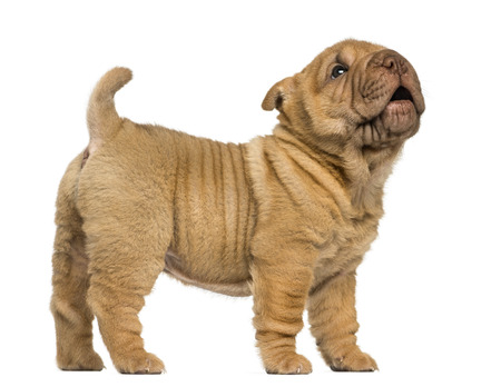 Side view of a Shar Pei puppy standing, barking, isolated on white photo