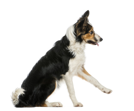submissiveness: Side view of a Border collie pawing up, obeying, isolated on white