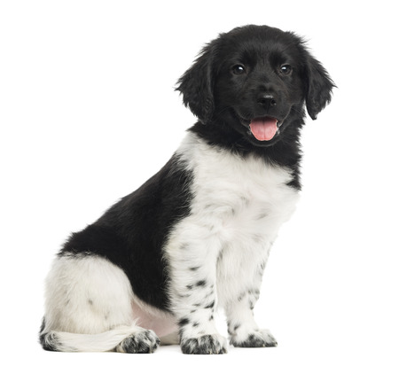 panting: Stabyhoun puppy sitting, panting, isolated on white Stock Photo