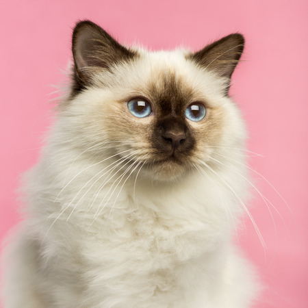 birman kitten: Close-up of a Birman kitten, 5 months old, on a pink  Stock Photo