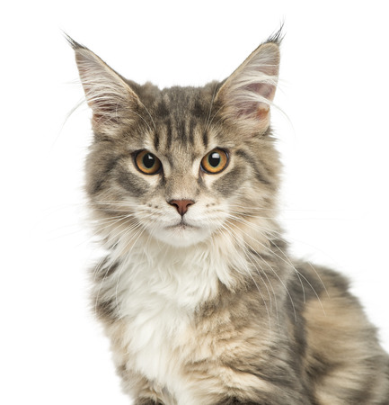 head shot: Close-up of a Maine Coon kitten, looking at the camera, 4,5 months old, isolated on white Stock Photo
