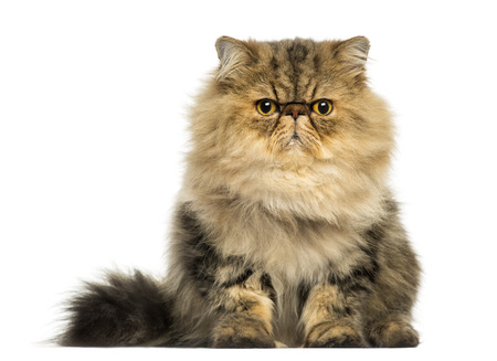grumpy: Front view of a grumpy Persian cat facing, looking at the camera, isolated on white