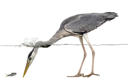 grey heron: Side view of a Grey Heron looking at a fish, under water, Ardea cinerea, isolated on white