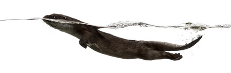 otter: Side view of an European otter swimming at the surface of the water, Lutra lutra, isolated on white