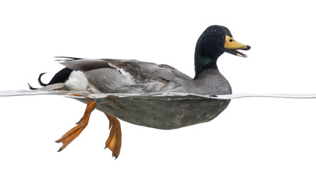 quacking: Side view of a Mallard in the water, quacking, Anas platyrhynchos, isolated on white