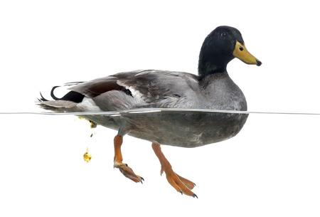 defecate: Mallard defecare in acqua, Anas platyrhynchos, isolato su bianco