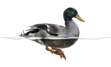anas: Side view of a Mallard floating on the water, Anas platyrhynchos, isolated on white