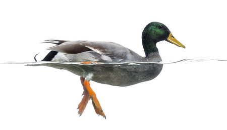 platyrhynchos: Side view of a Mallard floating on the water, Anas platyrhynchos, isolated on white