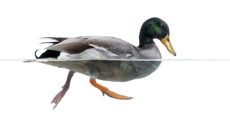 anas platyrhynchos: Side view of a Mallard floating on the water, Anas platyrhynchos, isolated on white